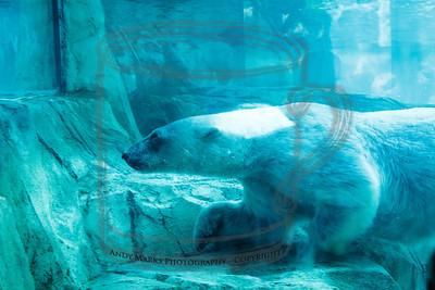 Polar Bear - 5