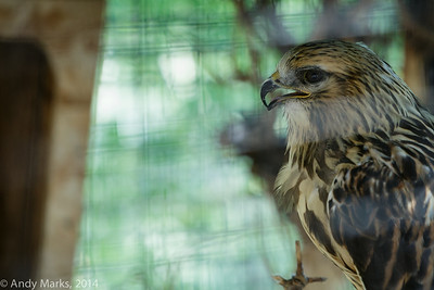 Gorgeous rough legged hawk, in a wire mesh cage.