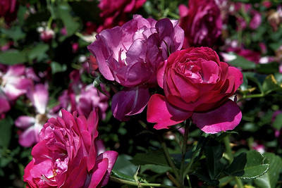 Rose Garden 2010