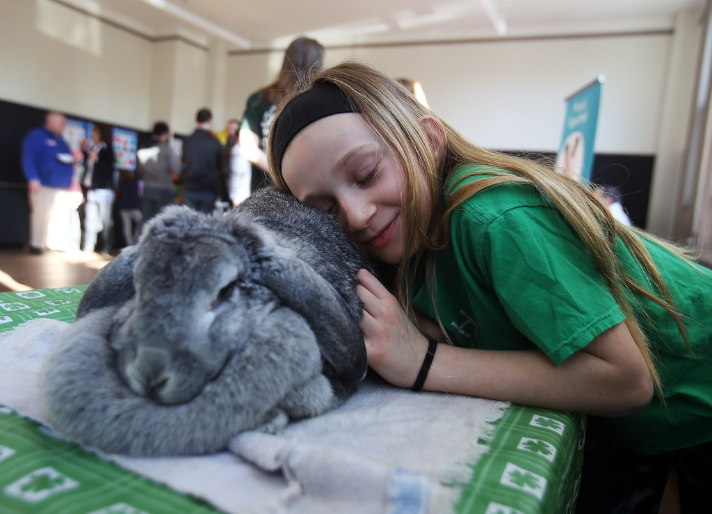 . Celebration of Roudenbush Community Center reopening after renovations. 4-H member Vienna Wilhelm, 10, of Westford, rests her head on Luna, a French lop rabbit belonging to Isabella DeScenza of Wesford. French lops have a large dewlap, the double chin that female rabbits pluck fur from to build nests. (SUN Julia Malakie)