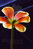Sunshine On A Cloudy Day<br /> <br /> Flower pictured :: Tulip<br /> <br /> Flower provided by :: Whole Foods<br /> <br /> 121612_006528 ICC sRGB 16in x 24in pic