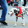 Globe/T. Rob Brown<br /> A few animals, like this dalmatian, participate in the Running of the Bulls event Thursday evening, July 19, 2012, during the downtown Joplin event on Main Street.
