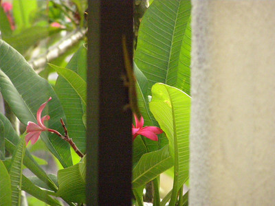 A gecko living on my hotel balcony at the Waikoloa Beach Marriott Resort & Spa in Hawai'i (May 2008)