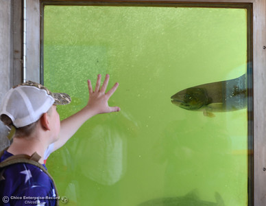 Cody Jennings; 12, of Oroville, tries to connect with salmon in the fish ladder as people celebrate fish Saturday, Sept. 24, 2016, during the Salmon Festival in Oroville, California. (Dan Reidel -- Enterprise-Record)