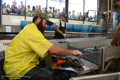 California Department of Fish and Wildlife technician Joe Amaroso harvest eggs from a chinook salmon as people watch from the viewing platform Saturday, Sept. 24, 2016, during the Salmon Festival in Oroville, California. (Dan Reidel -- Enterprise-Record)