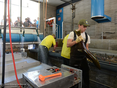 Scientific aide Shane Ransbury handles live salmon as he and Fish and Wildlife technicians harvest the fish Saturday, Sept. 24, 2016, during the Salmon Festival in Oroville, California. (Dan Reidel -- Enterprise-Record)