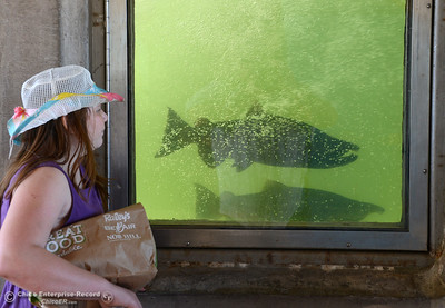 Ekko Jennings, 12, of Oroville, watches the salmon in the fish ladder as people celebrate fish Saturday, Sept. 24, 2016, during the Salmon Festival in Oroville, California. (Dan Reidel -- Enterprise-Record)