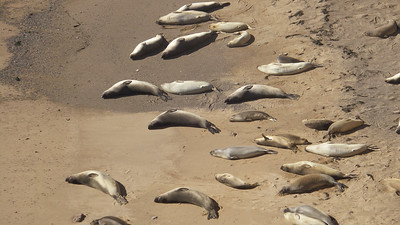 Elephant seals sunbathing on the beach below. Shot with 10x optical zoom.