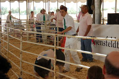 Showing the pig to the audience and bidders.