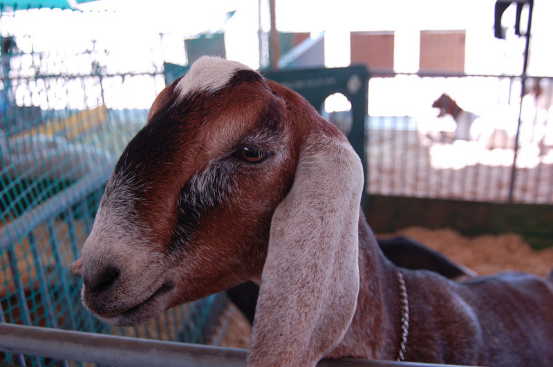 Wouldn't you like to have him in your goat pen?