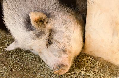 In pig heaven 1643