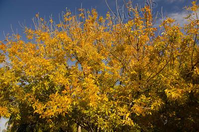 AZ leaves turning yellow 1675