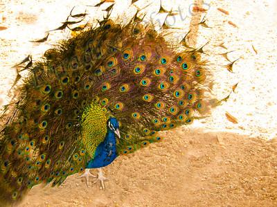 Peacock Schnepf Farms1563