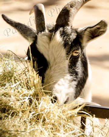 Goat 1647