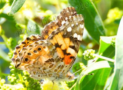 Butterfly Scottsdale 6706