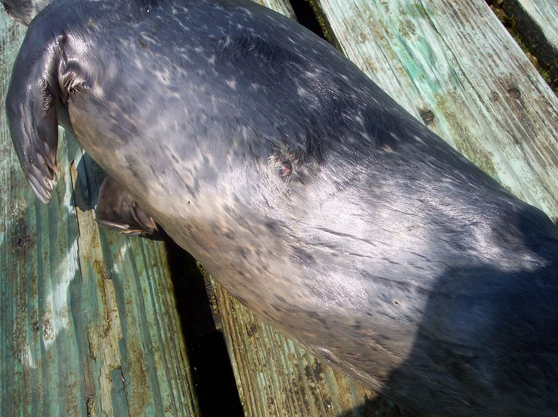 Exit wound on seal.