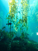you knew this was Macrocystis pyrifera right?  148 tall !