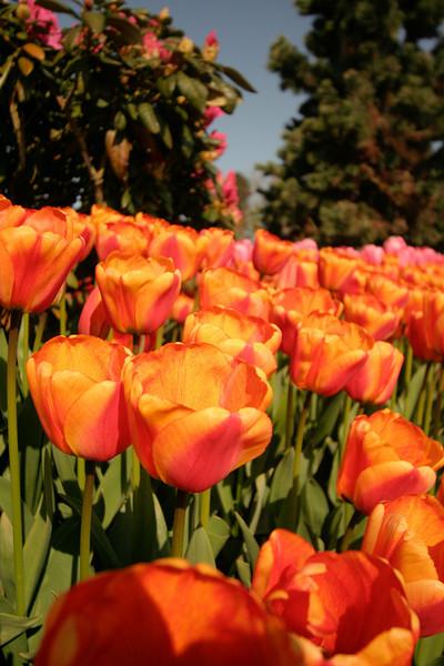 tulip-festival-2011-2549