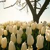 tulip-festival-2011-2572