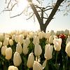tulip-festival-2011-2573