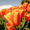 tulip-festival-2011-2552