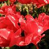 tulip-festival-2011-2568