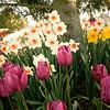 tulip-festival-2011-2579