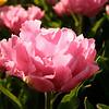 tulip-festival-2011-2562