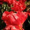 tulip-festival-2011-2570