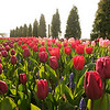tulip-festival-2011-2598