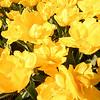 tulip-festival-2011-2564