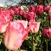 tulip-festival-2011-2582