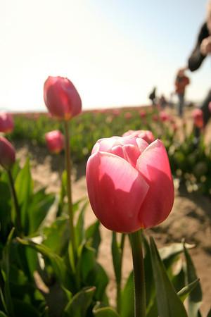 Skagit Valley Tulip Festival - May 2011