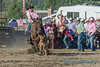 Tie-down roping, right out of the gate