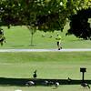 0913 geese run