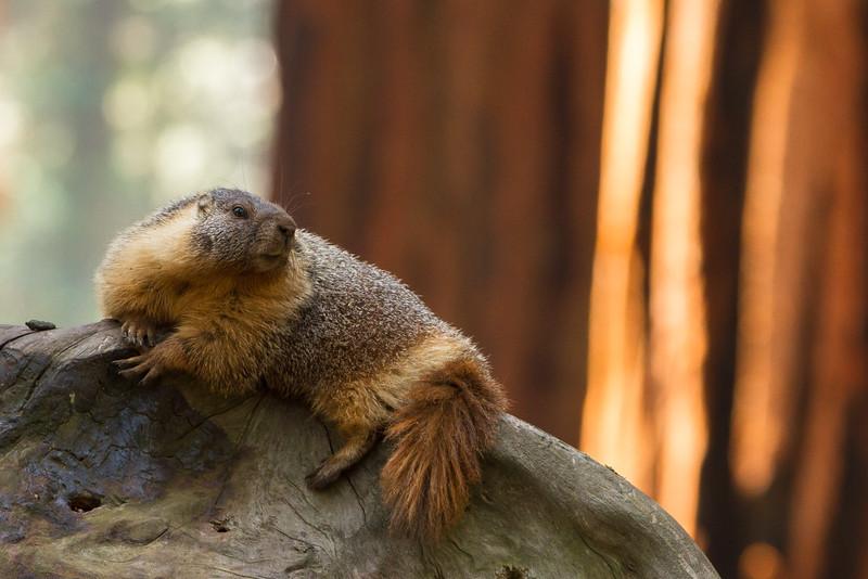 Marmot Model