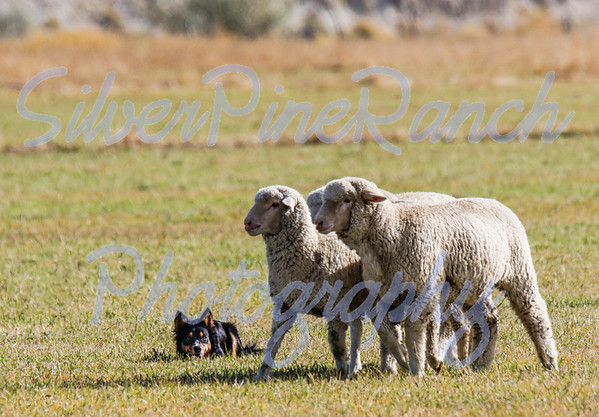 Open Lock Ranch - Sheep Dog Trials - Meeteetse, WY.