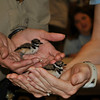 Killdeer hatchlings whose mother was hit by a car. They're being cared for until they're ready to release back into the wild.
