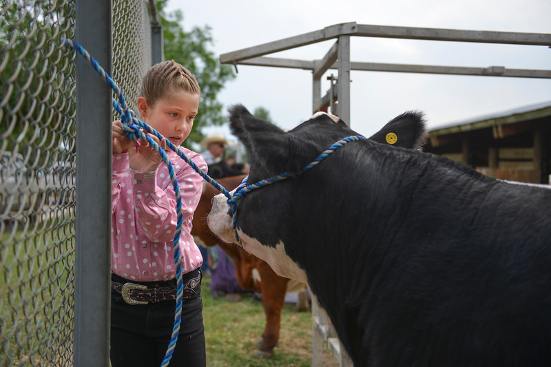 Justin Sheely | The Sheridan Press<br /> Eleven-year-old River Robinson gets her shorthorn steer ready for the Beef Show during the Sheridan County Fair Friday, Aug. 3, 2018.