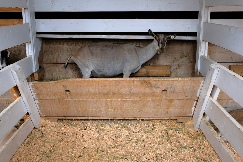 Justin Sheely | The Sheridan Press<br /> A goat stands in the feed trough during the Sheridan County Fair at the Sheridan County Fairgrounds Thursday, Aug. 2, 2018.