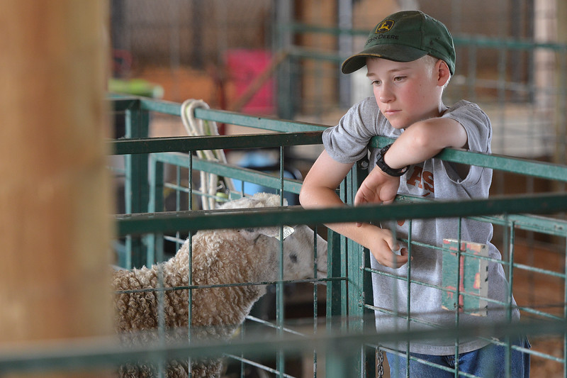 Justin Sheely | The Sheridan Press<br /> Eleven-year-old Will Edwards watches his sheep during the Sheridan County Fair at the Sheridan County Fairgrounds sale barn Thursday, Aug. 2, 2018.
