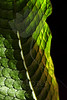 Scales in Sunlight<br /> <br /> Leaf pictured :: Alligator Fern<br /> <br /> Leaf provided by :: Babylon Floral<br /> <br /> 052212_009514 ICC sRGB 16in x 24in pic