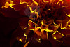 Burn<br /> <br /> Flower pictured :: Marigold<br /> <br /> Flower provided by :: Babylon Floral<br /> <br /> 102712_004624 ICC sRGB 16in x 24in pic