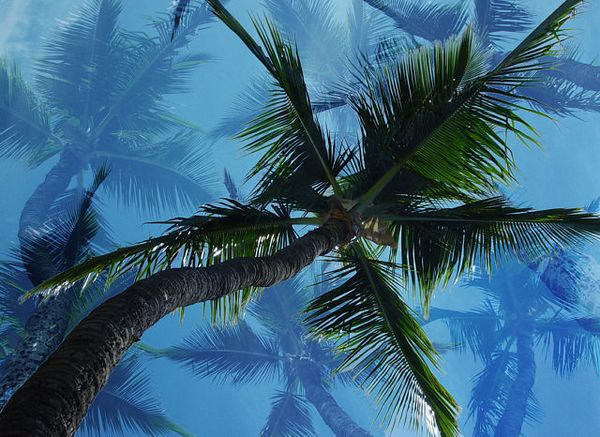 Ghost Palms