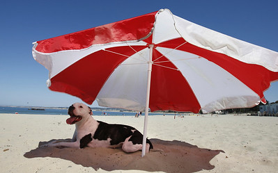 Keyla, a pit bull, tries to keep cool under a red and white umbrella at Monterey Beach on Thursday afternoon while her master, Marvin Colantro of Marina suns himself just out of camera range. Colantro had the day off from his restaurant job nearby and came to the beach to enjoy the nice weather before the labor day crowds fill local beaches. He's heading out of town himself this weekend to in a tournament for his softball team,  'Most Wanted,' at Lake Tahoe.
