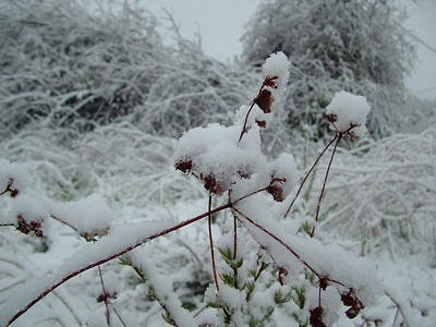 Buckwheat in snow, 21 Nov 2004
