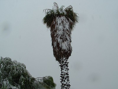 Fan Palm in snow, 21 Nov 2004
