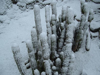 Gold Torch (Echinopsis spachiana) in snow, 21 Nov 2004
