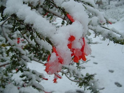 Trumpet Creeper in snow, 21 Nov 2004
