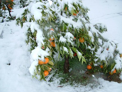 Mandarin Orange Tree in snow, 21 Nov 2004